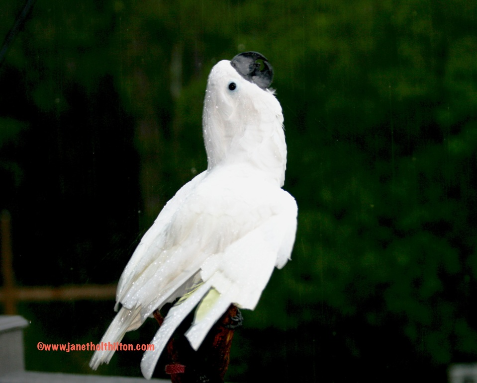 """My sweet, bad, silly Umbrella Cockatoo that has """"fixed"""" me in so many ways!"""