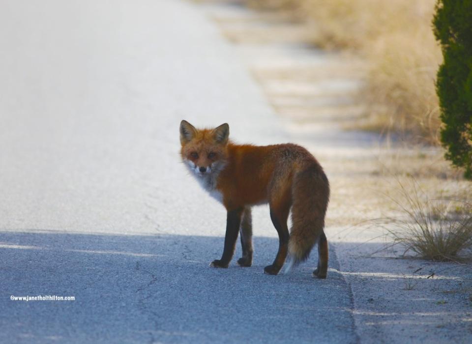 BHI FOX2