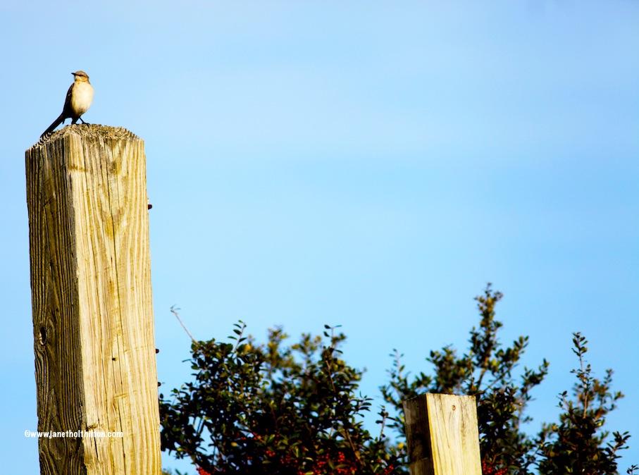 BHI Mocking Bird