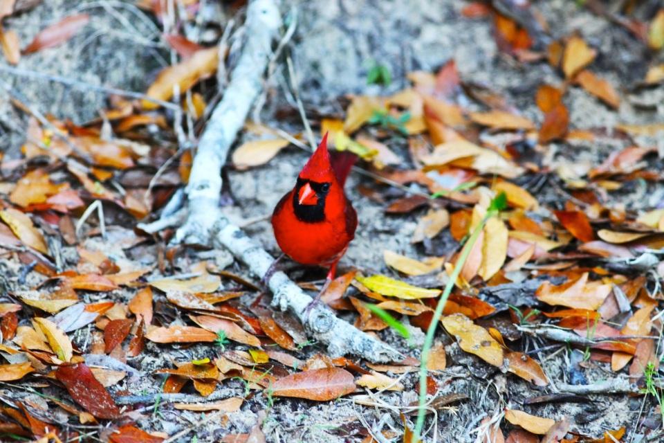 Red Bird 5