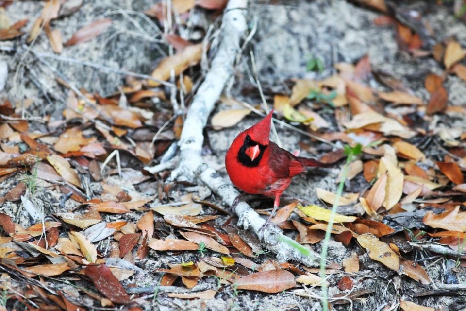Red Bird 7